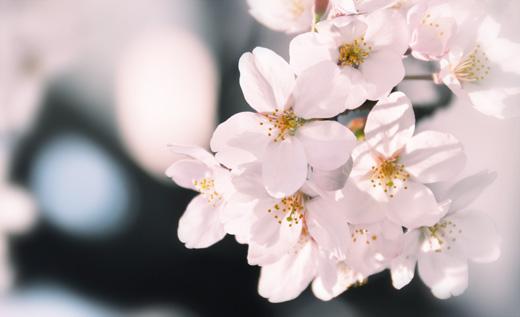 image_sakura