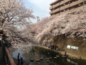 大岡川と桜